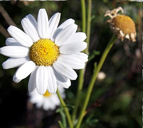 Chrysanthemum anethifolium