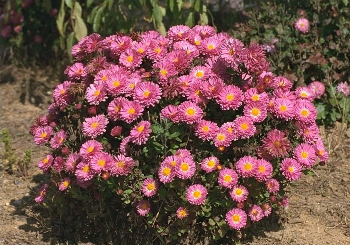 Chrysanthemum x Morifolium111