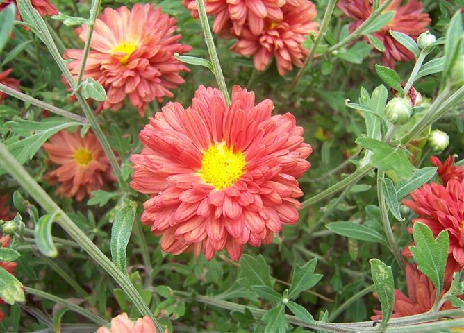 Chrysanthemum x Morifolium22