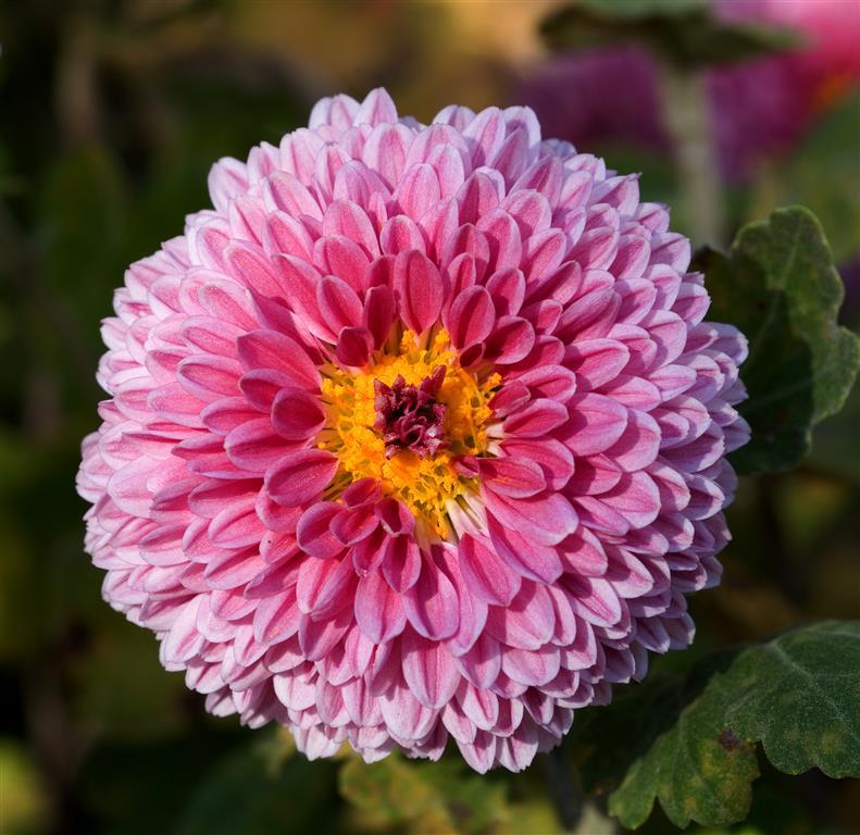 Chrysanthemum_morifolium