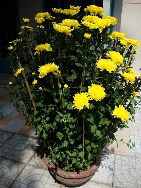 Chrysanthemum_morifolium_
