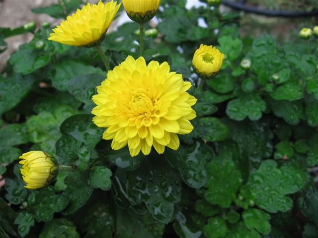 Chrysanthemum_x_grandiflorum_04