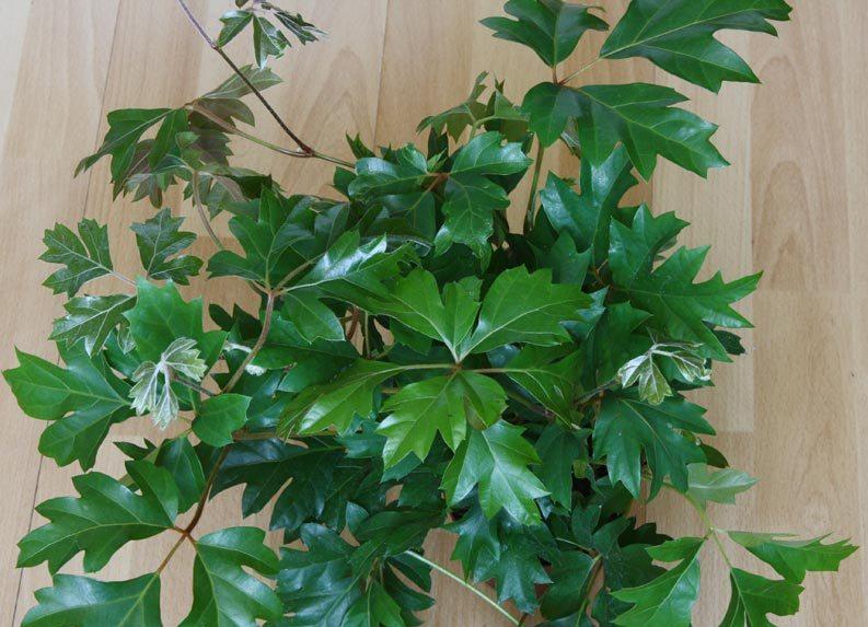 Cipó-uva (Cissus rhombifolia)