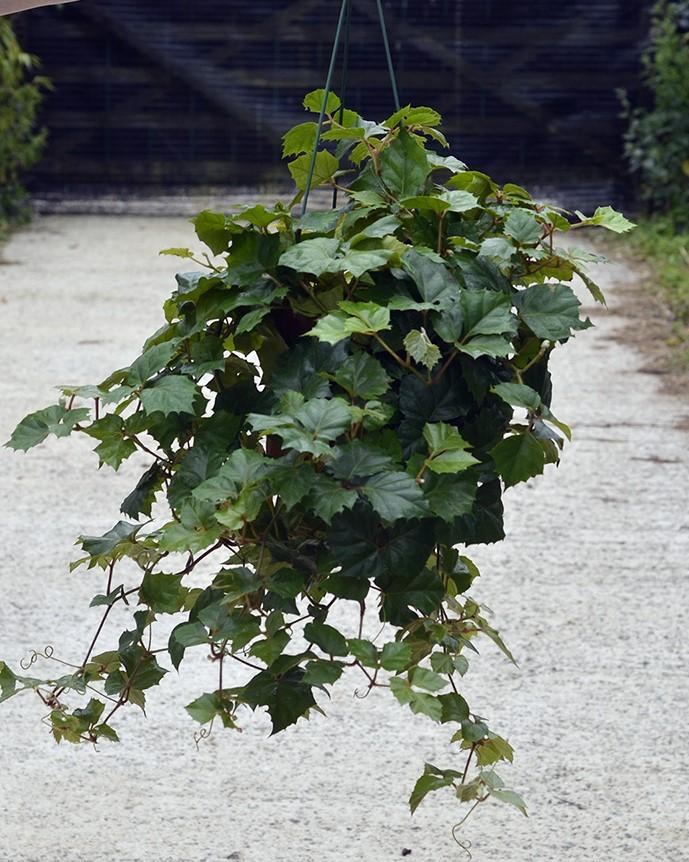 Cissus_rhombifolia_