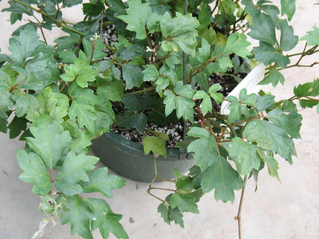 Cissusrhombifolia1