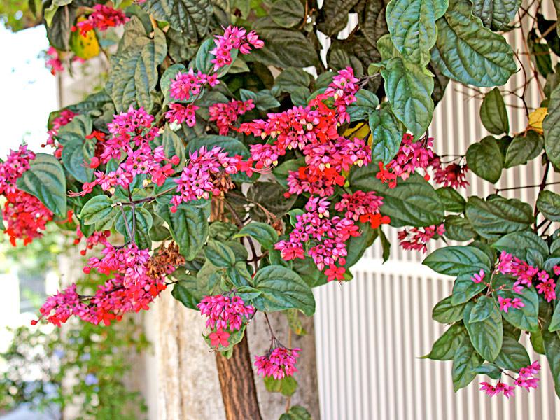 Clerodendron-speciosum