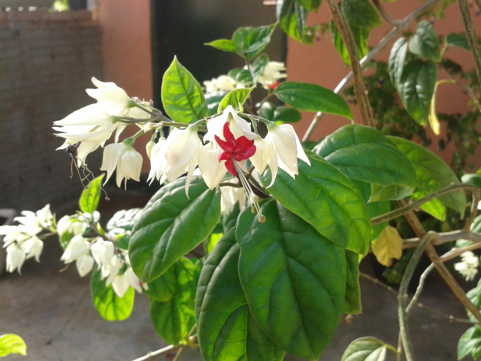 Clerodendron thomsonae5