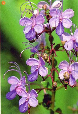 Clerodendrum ugandense (2)