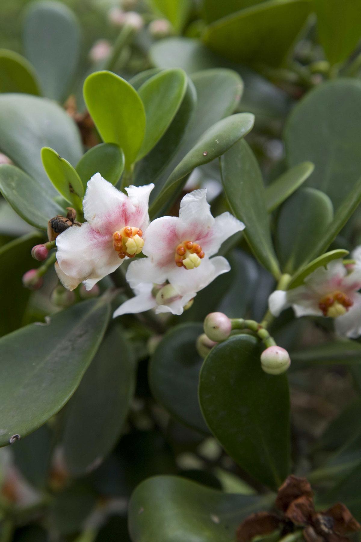 (Clusia fluminensis),