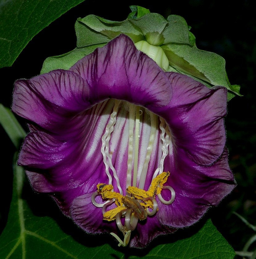 Cobaea scandens-1