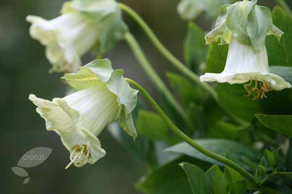 Cobaea scandens white