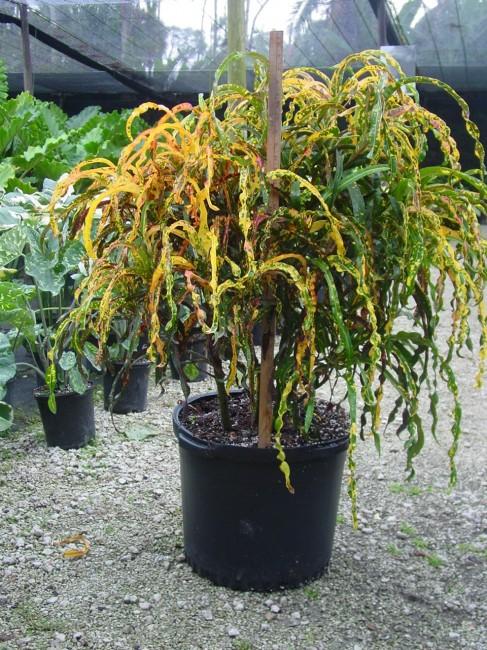 Codiaeum variegatum 'Dreadlocks'