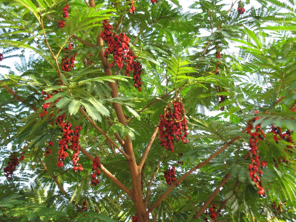 Cojoba arbórea_1