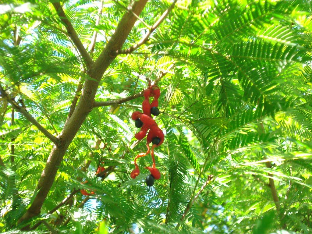 Cojoba arbórea_7
