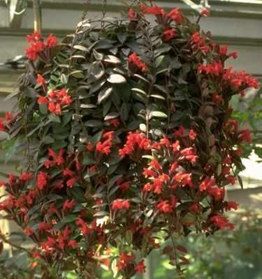 (Columneia microphylla)