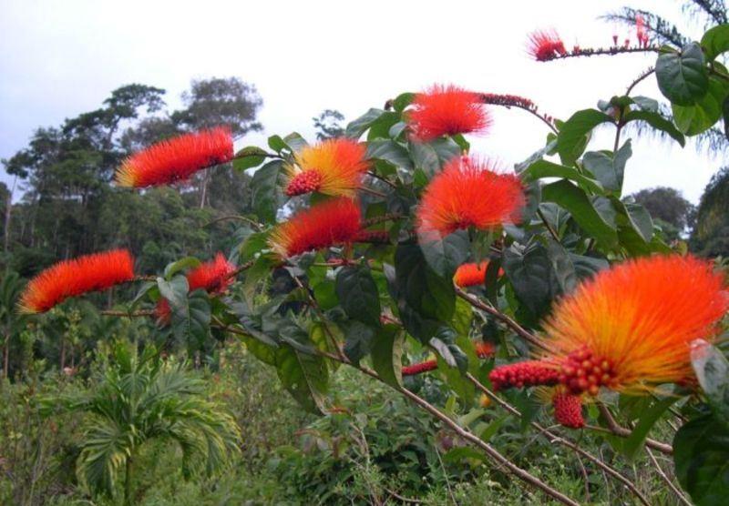 Combretum fruticosum1