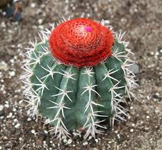 Coroa-de-frade – Melocactus zehntneri