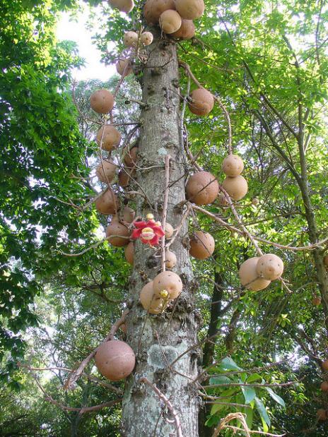 Coroupita guianenses