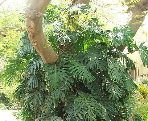 Costela-de-adão (Monstera deliciosa)