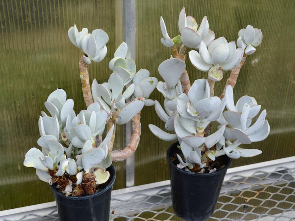 Cotyledon-orbiculata
