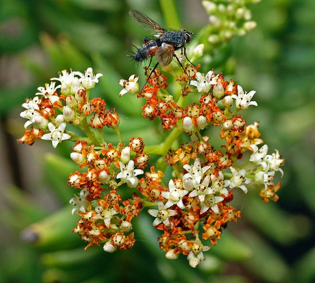 Crassula tetragona em flor