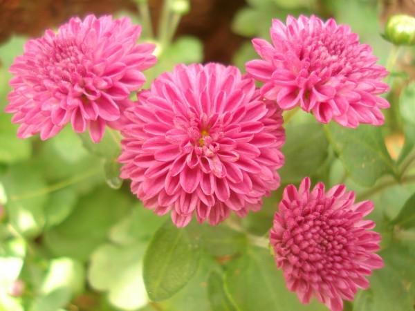 Crisantemo-450