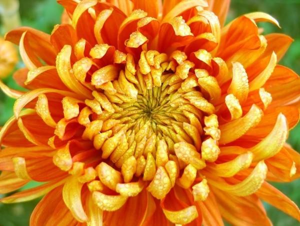 Crisantemo-Laranja