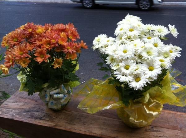 Crisantemo-vaso