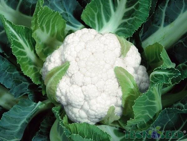 Cultivo-de-Couve-Flor-em-Vasos-3