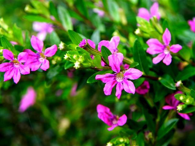 Cuphea gracilis rosa