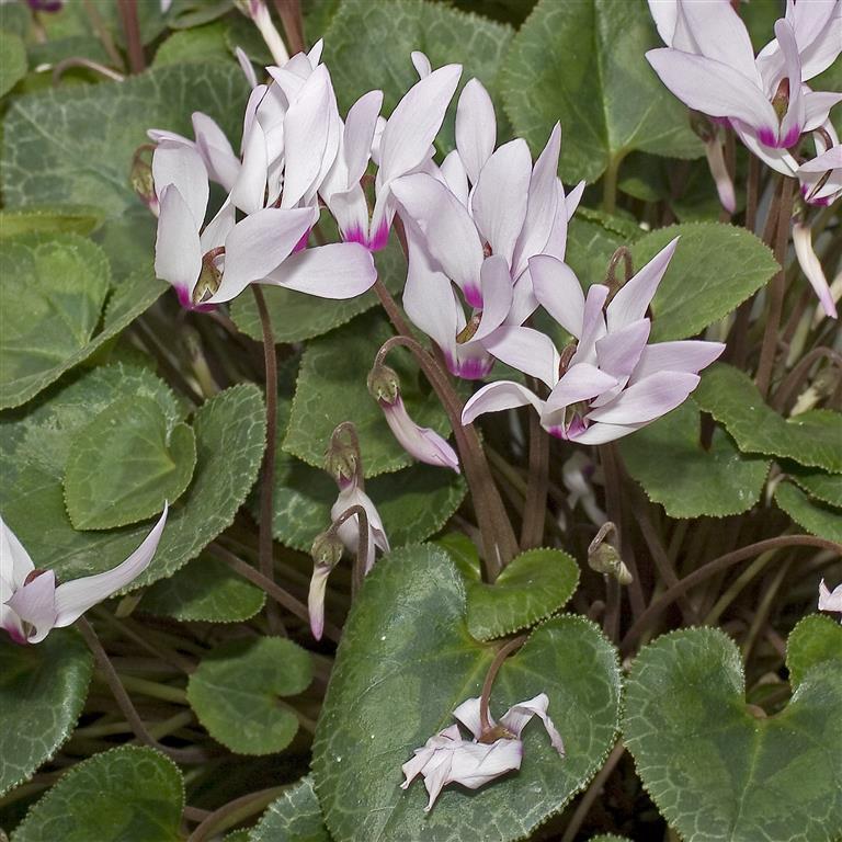 Cyclamen.persicum