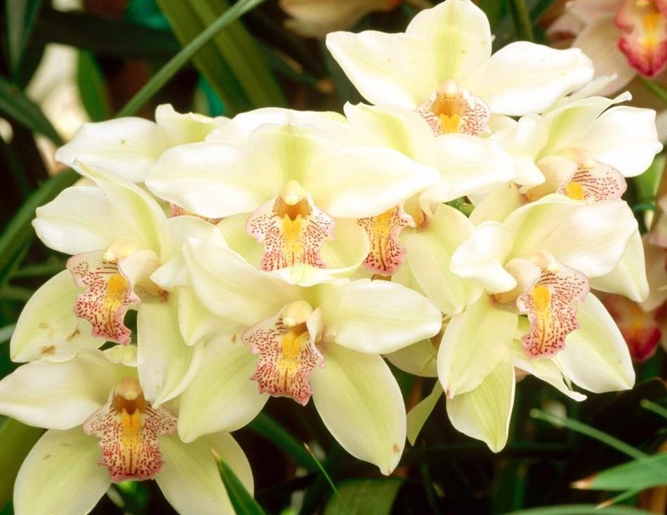 Cymbidium-Orchid