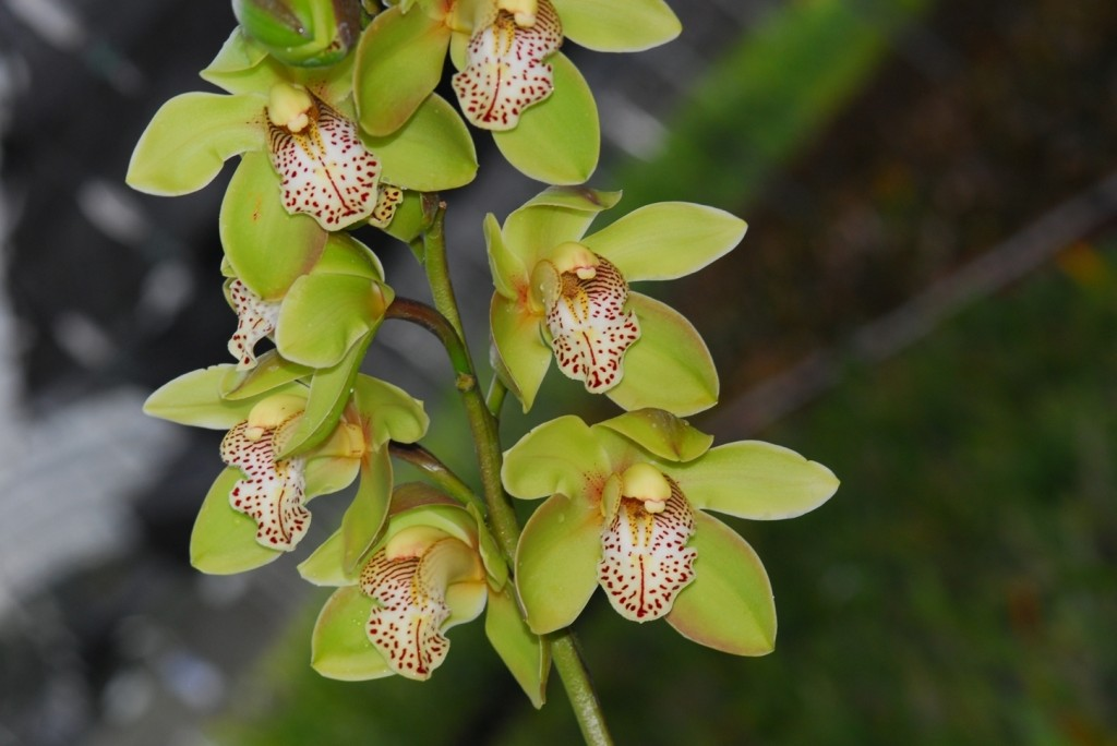 Cymbidium_Honey_Green