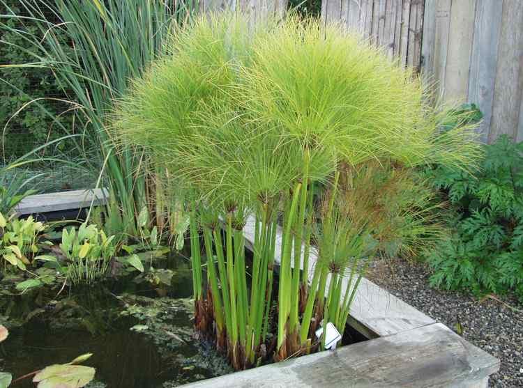 Cyperus Papyrus Nanus