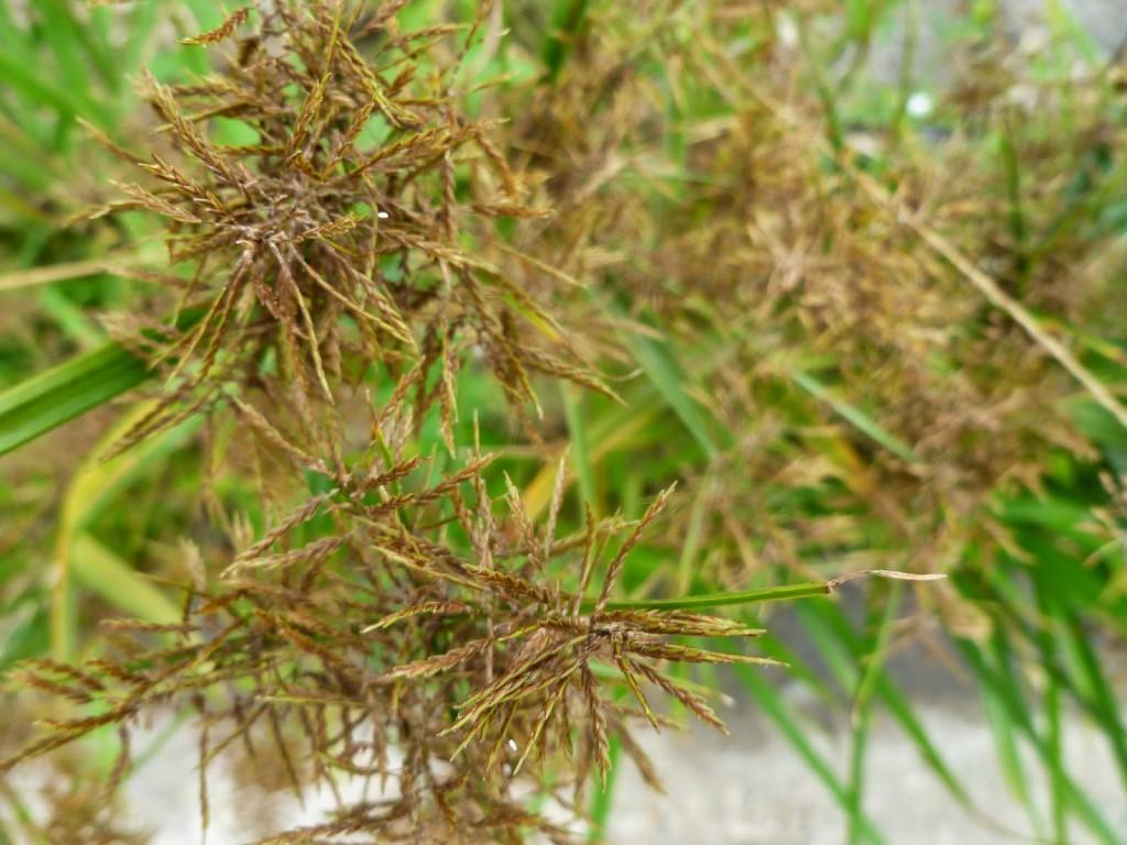 Cyperus rotondus