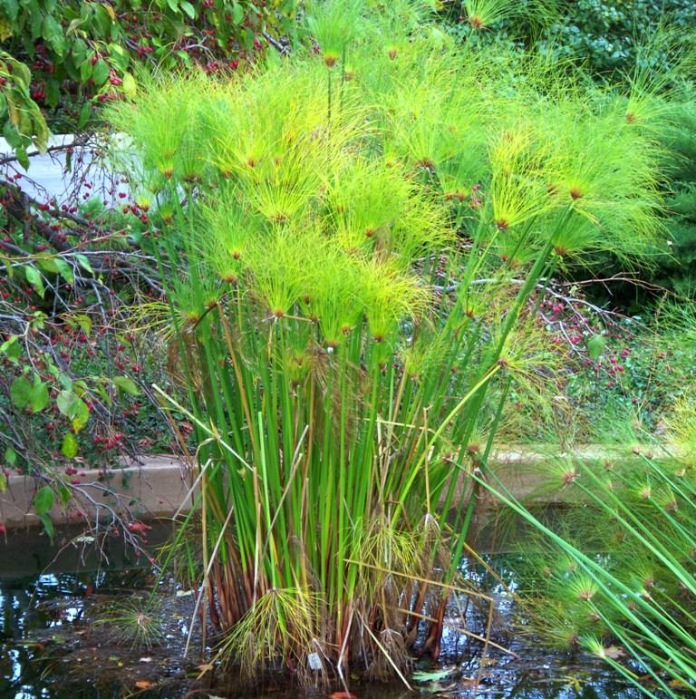CyperusGiganteus