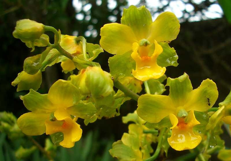 Cyrtopodium polyphyllum