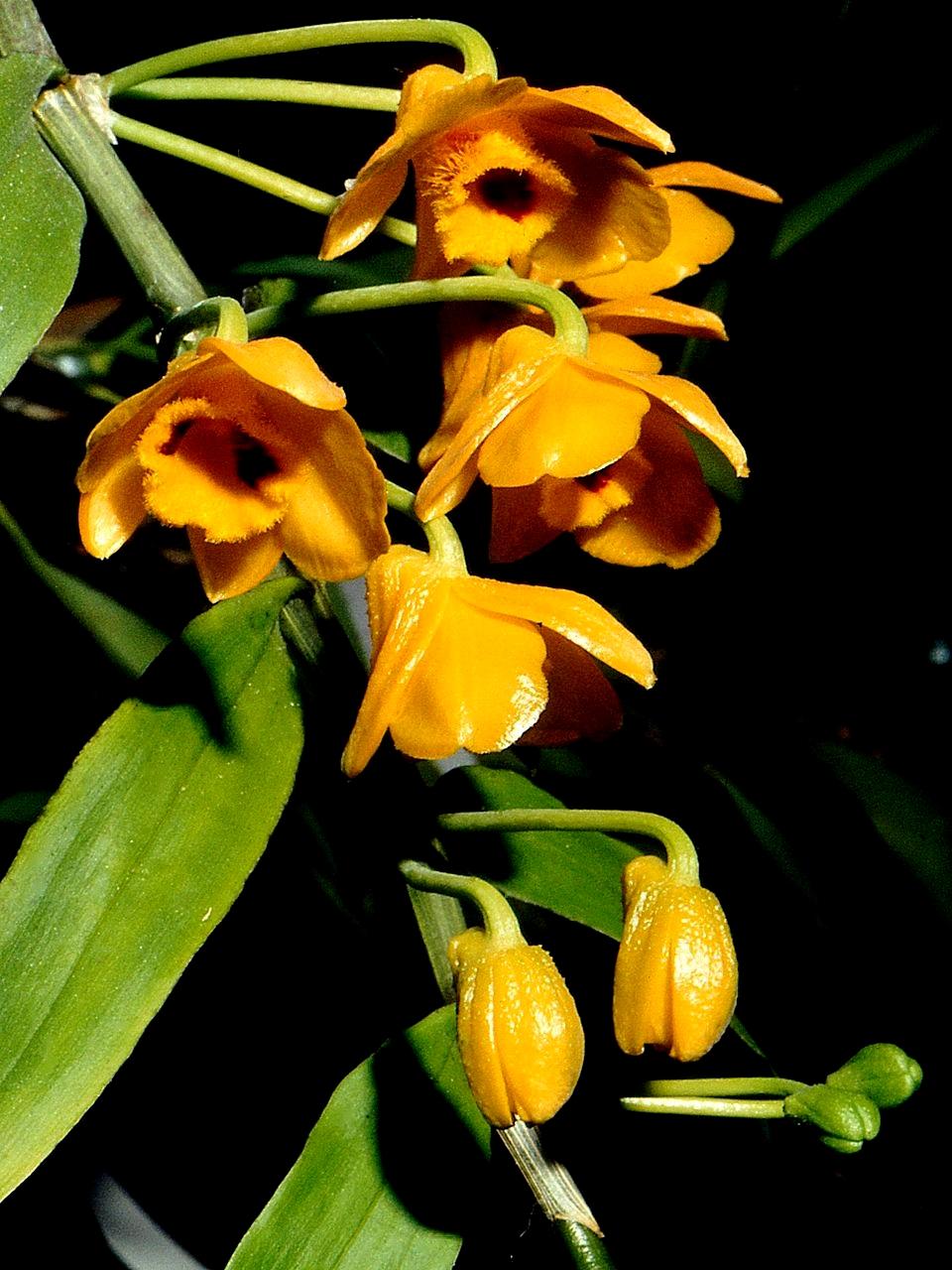 Den. chrysanthum