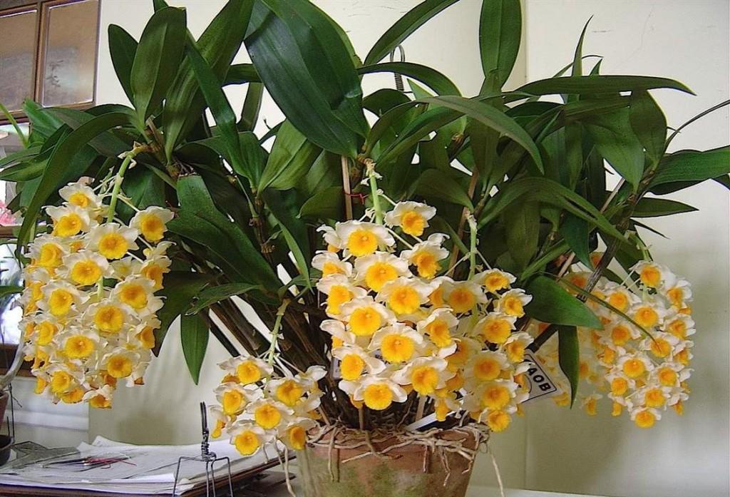 Dendrobium - Orquidea