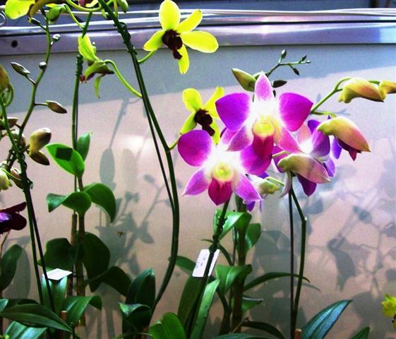 Dendrobium Thong Chai Green