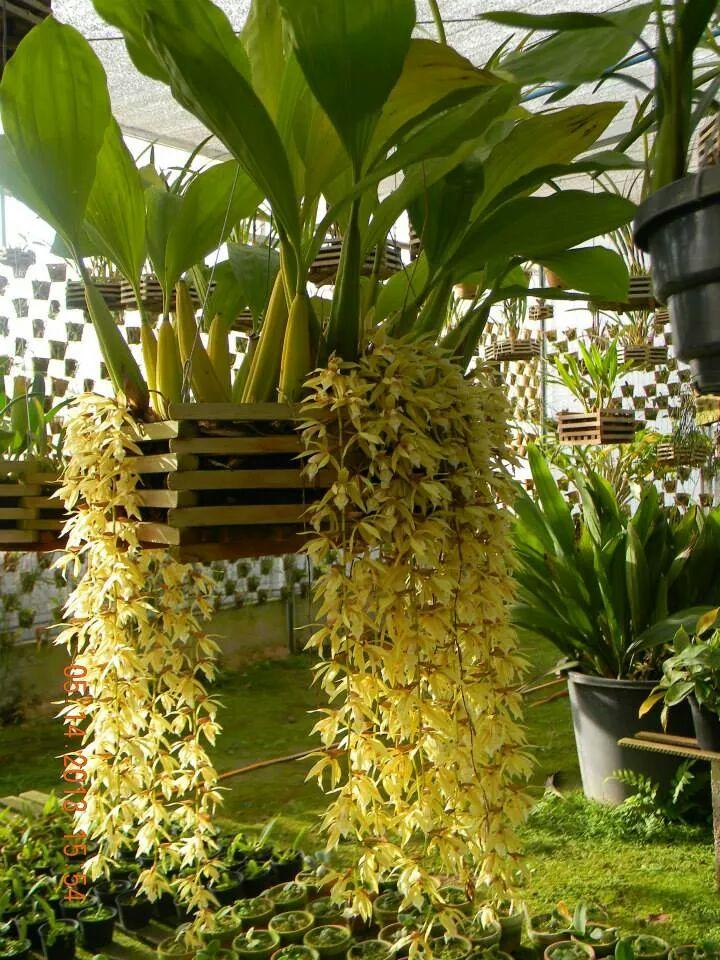 Dendrobium Thyrsiflorum X Farmeri