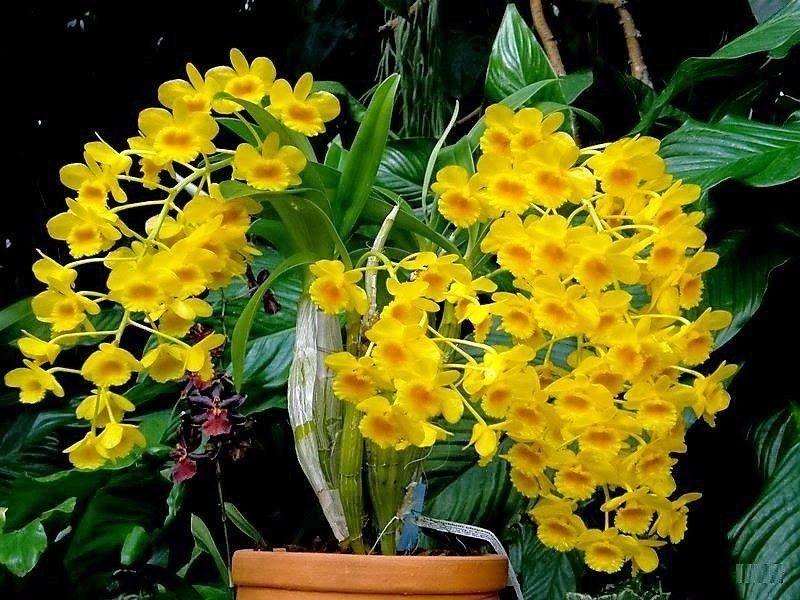 Dendrobium chrysotoxum_1