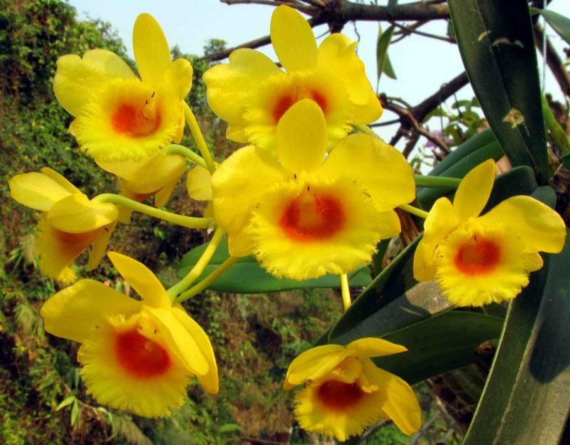 Dendrobium chrysotoxum_3