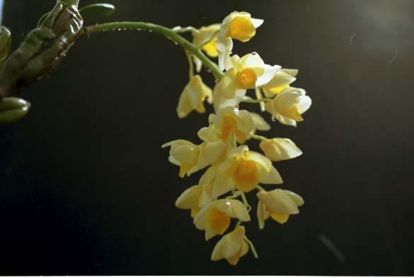 Dendrobium greffithianum