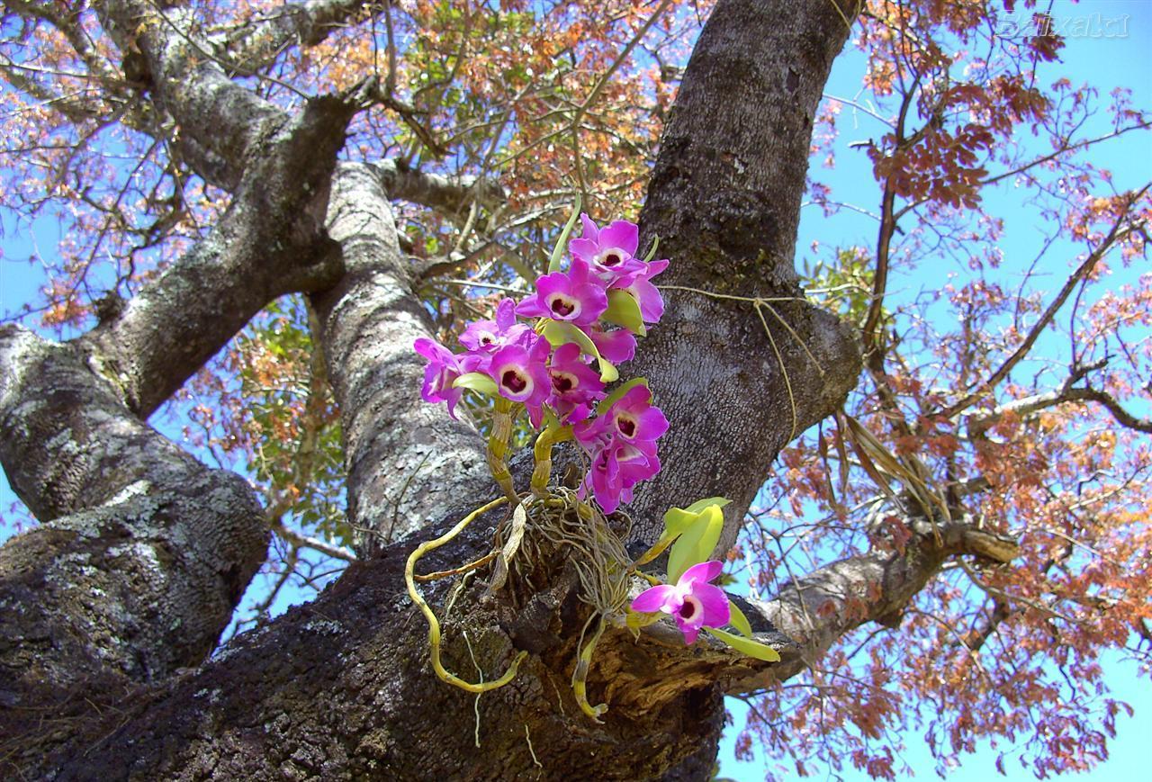 Dendrobium  olho-de-boneca