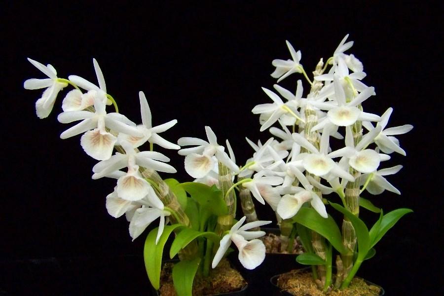 Dendrobium primulinum var. cretaceum