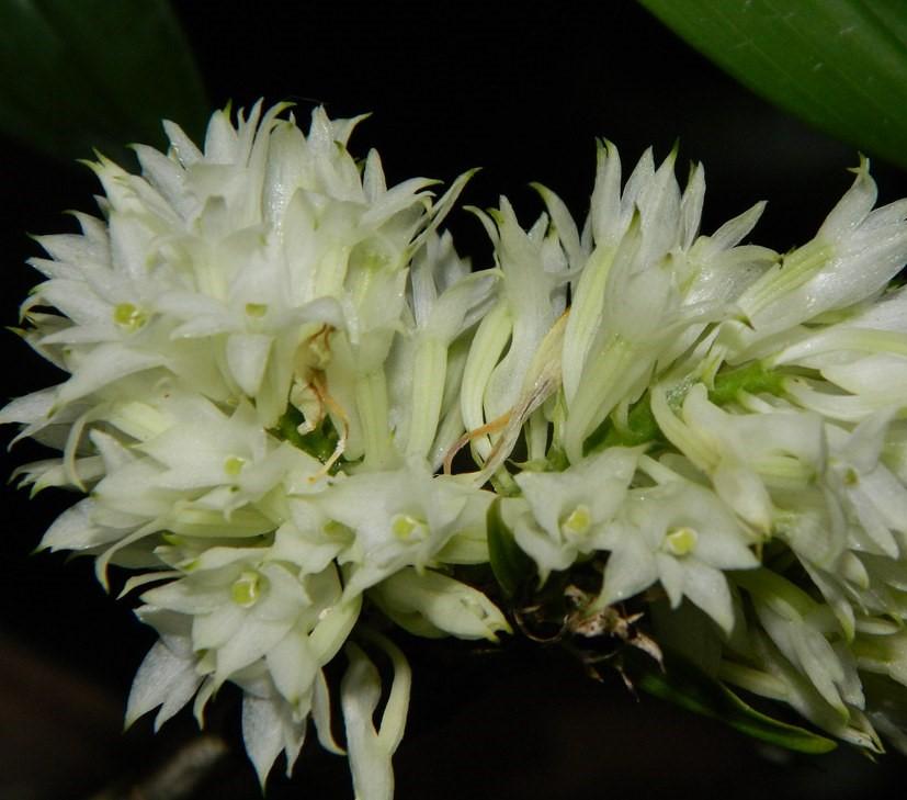 Dendrobium purpureum -55