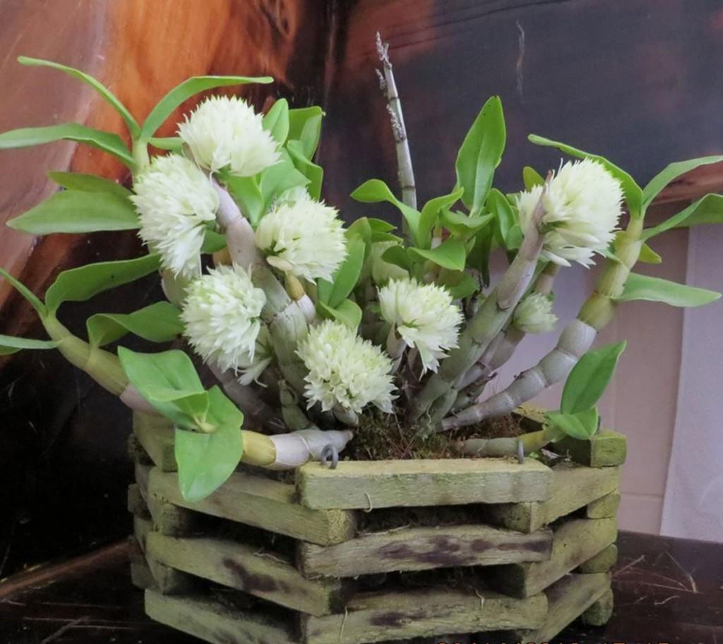 Dendrobium-purpureum-album