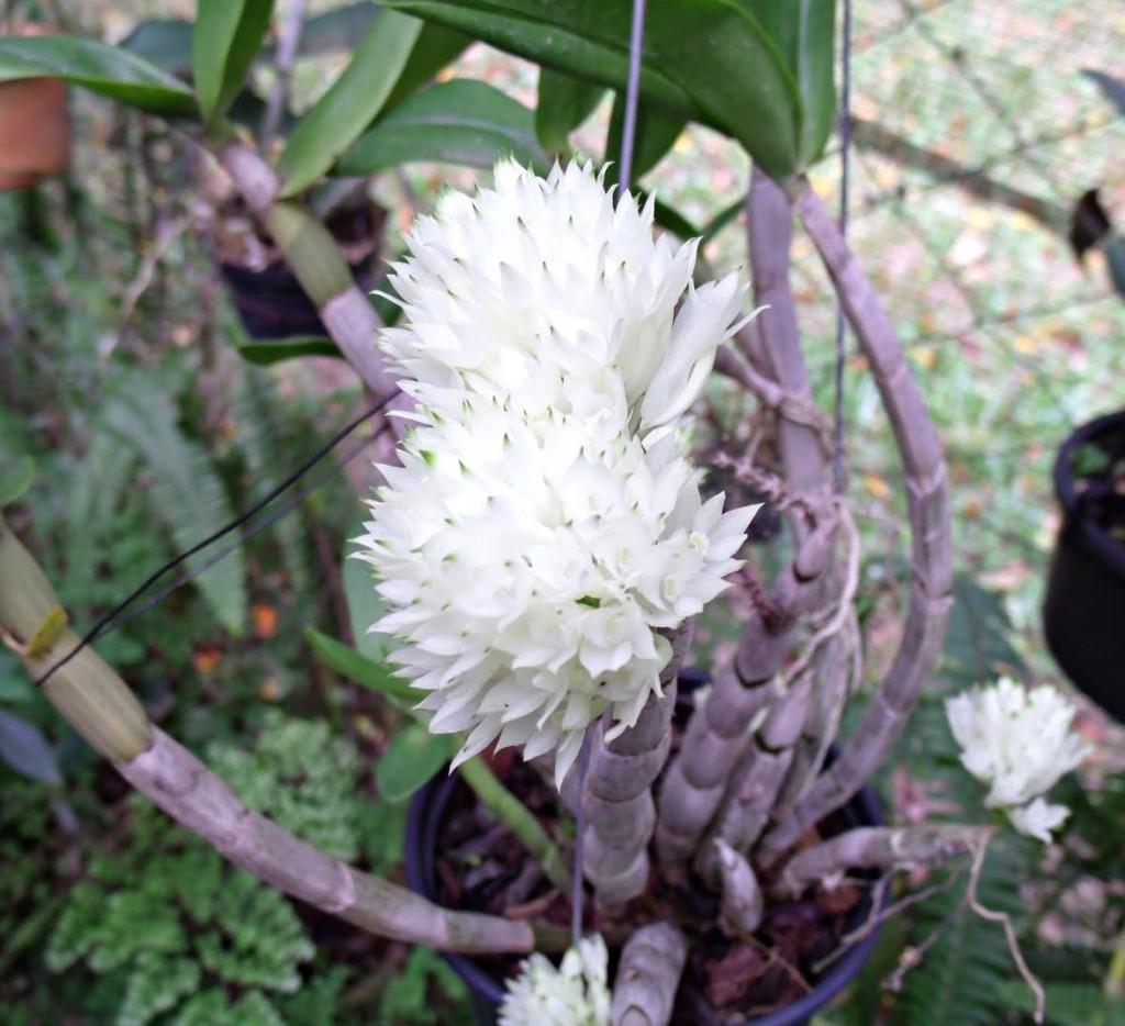 Dendrobium purpureumalbum-1