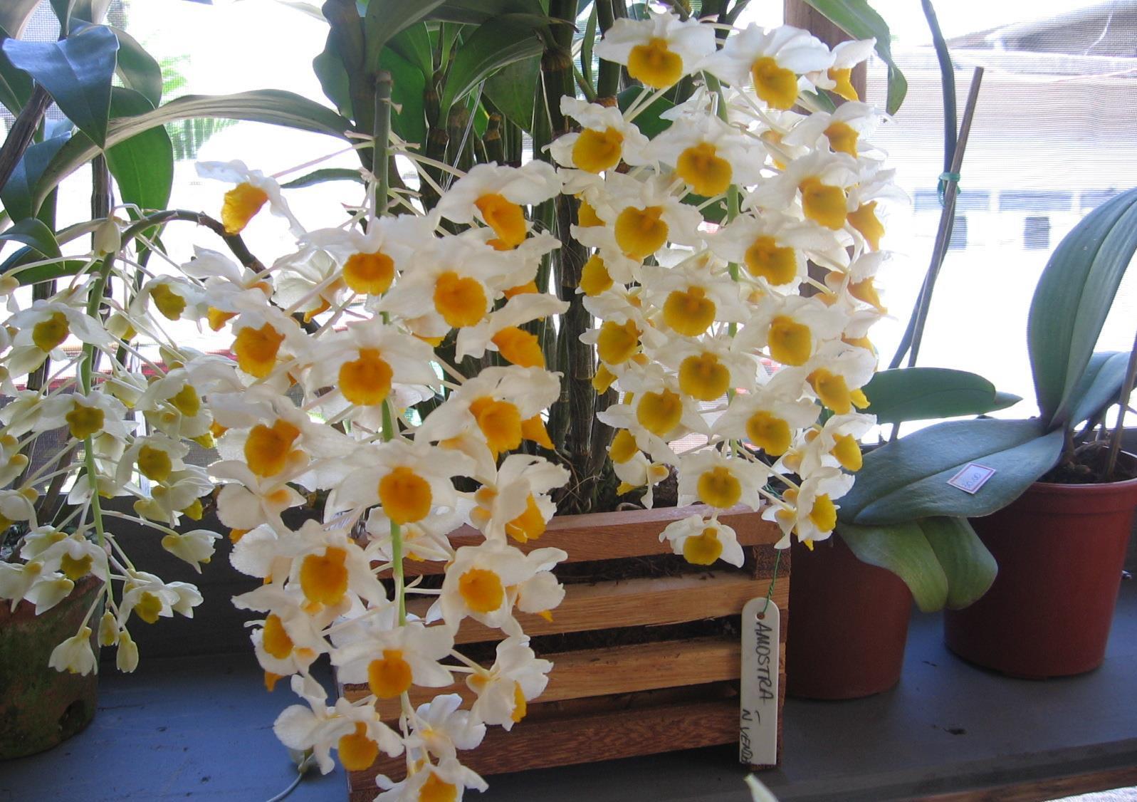 Dendrobium thyrsiflorum I 02